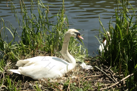 Expectant Swan - My Homespun Haven
